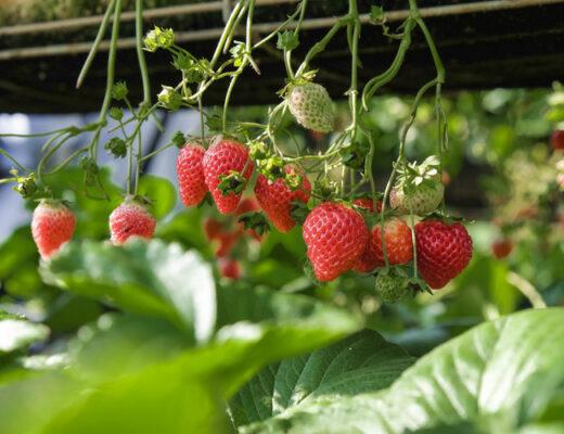 Berry Picking Date - List of Cheap Date Ideas