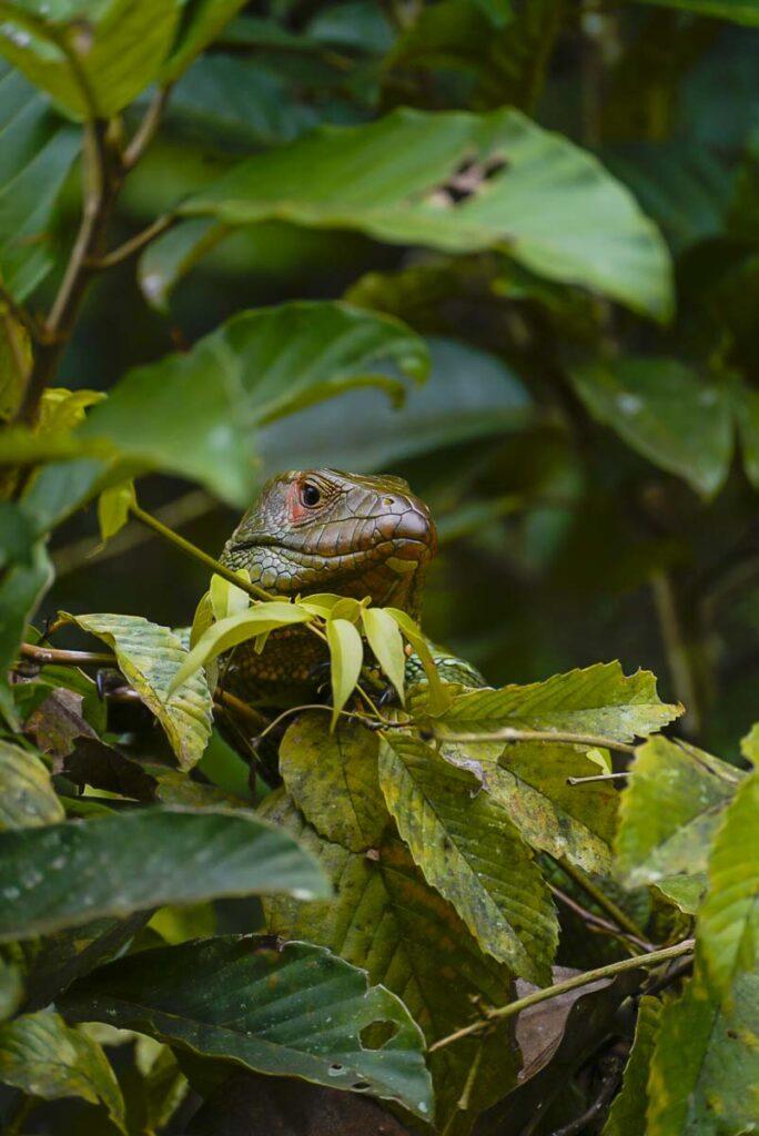 Amazonian Lizard